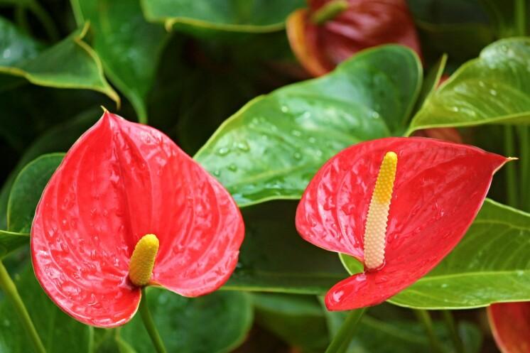 Rostliny a květiny jedovaté pro psy - červená Anturie (toulitka)