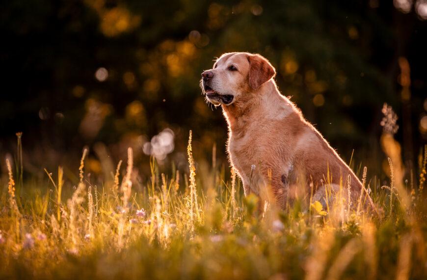 Jak se starat ostaršího psa
