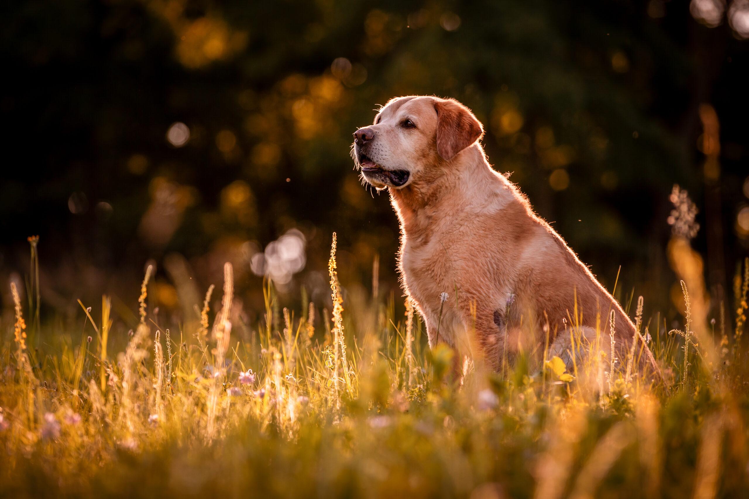 Jak krmit staršího psa - labrador Roxy