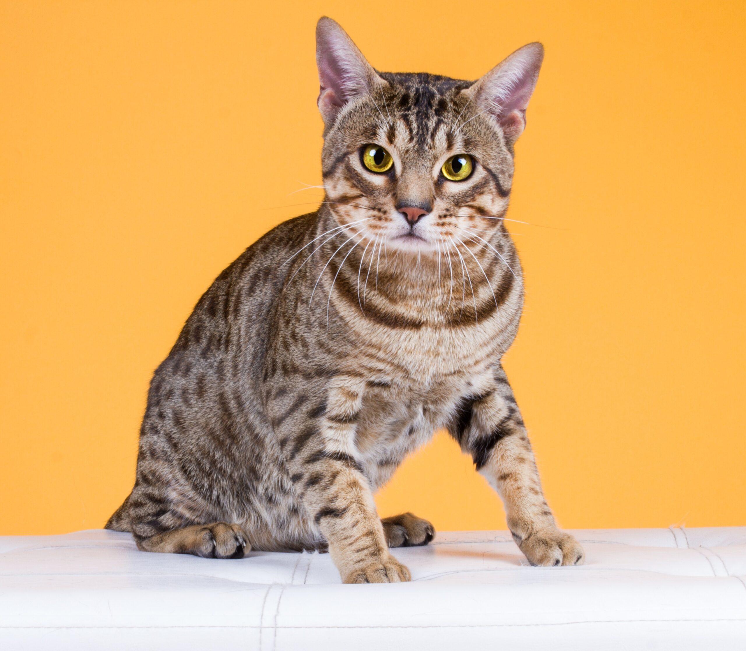 Největší kočičí strašáci - nemoci FIV, FeLV a FIP